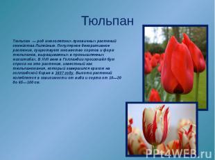 Тюльпан—родмноголетних луковичных растений семействаЛилейные. Популярноеде