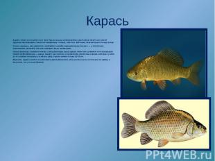 Карась легко отличается от всех других наших пресноводных рыб своим более или ме