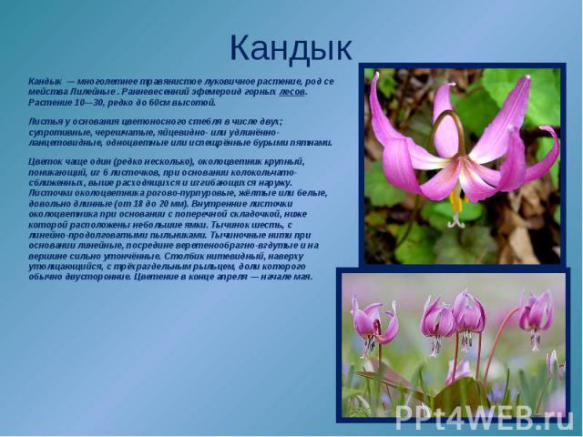 Кандык—многолетнеетравянистоелуковичноерастение,родсемействаЛилейные. Ранневесеннийэфемероидгорныхлесов. Растение 10—30, редко до 60см высотой. Листьяу основанияцветоносногостебляв числе двух; супротивные,черешчатые, яйцевидно- или…