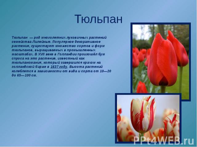 Тюльпан—родмноголетних луковичных растений семействаЛилейные. Популярноедекоративное растение, существует множество сортов и форм тюльпанов, выращиваемых в промышленных масштабах. ВXVII векев Голландии произошёл бум спроса на это растение, и…
