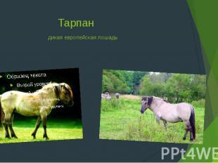 Тарпандикая европейская лошадь