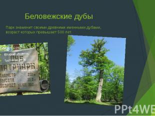 Беловежские дубы Парк знаменит своими древними именными дубами, возраст которых