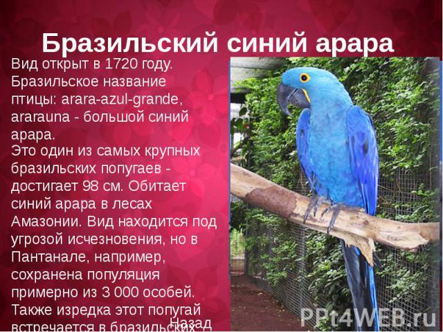 Вид открыт в 1720 году. Бразильское название птицы: arara-azul-grande, ararauna - большой синий арара. Это один из самых крупных бразильских попугаев - достигает 98 см. Обитает синий арара в лесах Амазонии. Вид находитcя под угрозой исчезновения, но…