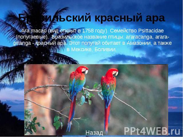 Ara macao (вид открыт в 1758 году). Семейство Psittacidae (попугаевые). Бразильское название птицы: araracanga, arara-piranga - красный ара. Этот попугай обитает в Амазонии, а также в Мексике, Боливии.