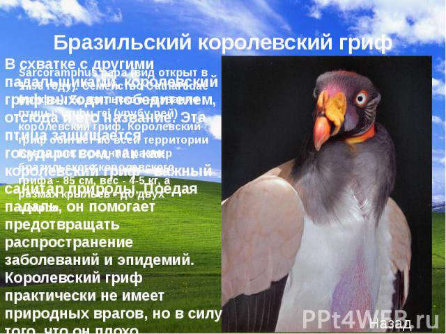 В схватке с другими падальщиками, королевский гриф выходит победителем, отсюда и его название. Эта птица защищается государством, так как королевский гриф - важный санитар природы. Поедая падаль, он помогает предотвращать распространение заболеваний…