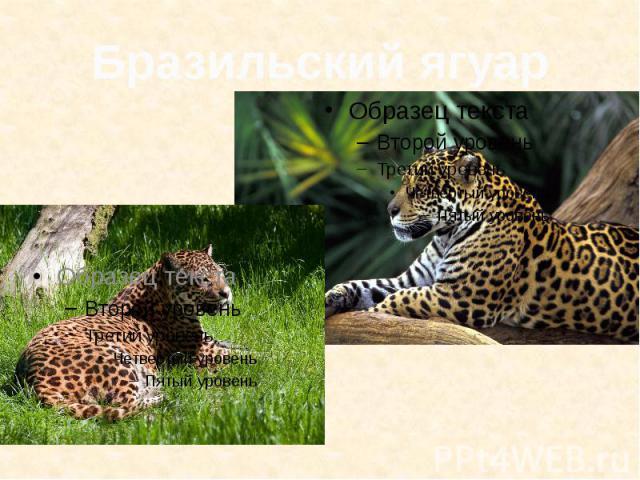Бразильский ягуар