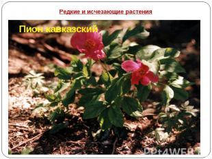 Редкие и исчезающие растения Пион кавказский