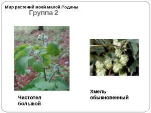 Мир растений моей малой Родины Чистотел большой Хмель обыкновенный