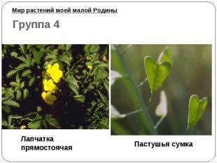 Мир растений моей малой Родины Лапчатка прямостоячая Пастушья сумка
