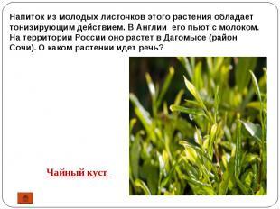 Напиток из молодых листочков этого растения обладает тонизирующим действием. В А