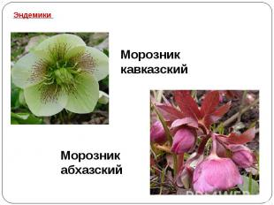 Эндемики Морозник кавказский Морозник абхазский