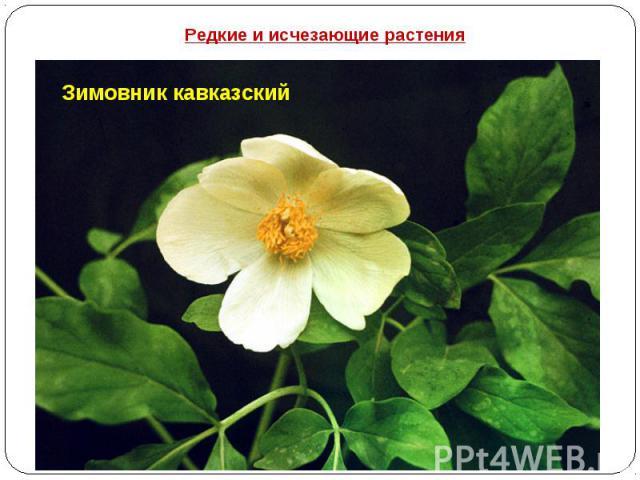 Редкие и исчезающие растения Зимовник кавказский