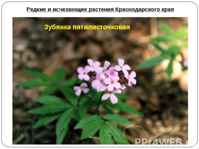 Редкие и исчезающие растения Краснодарского края Зубянка пятилисточковая