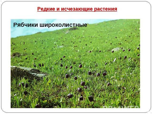 Редкие и исчезающие растения Рябчики широколистные