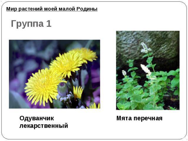 Мир растений моей малой Родины Группа 1Одуванчик лекарственный Мята перечная