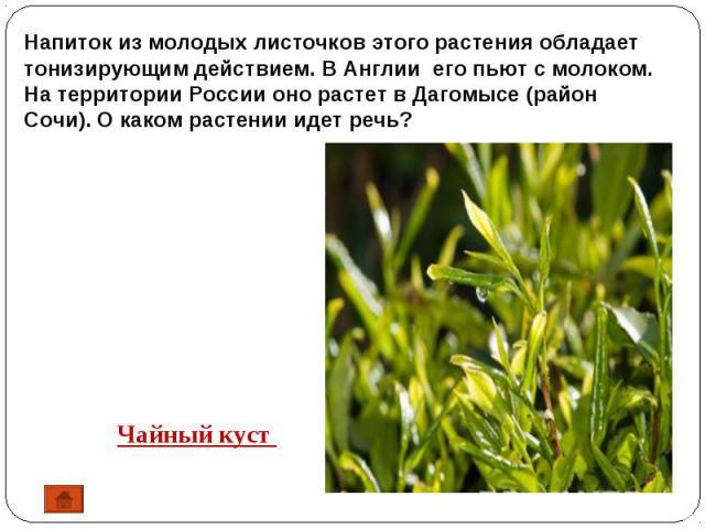 Напиток из молодых листочков этого растения обладает тонизирующим действием. В Англии его пьют с молоком. На территории России оно растет в Дагомысе (район Сочи). О каком растении идет речь? Чайный куст