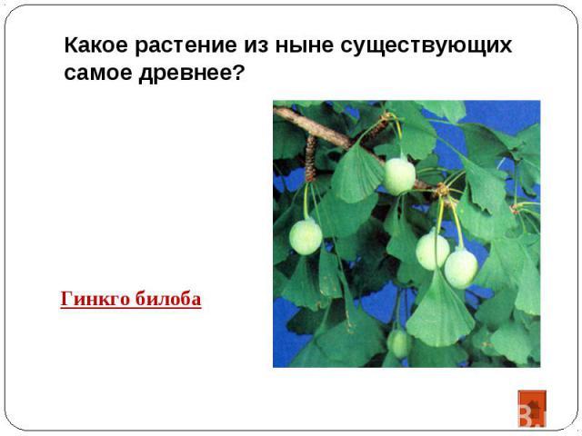 Какое растение из ныне существующих самое древнее? Гинкго билоба