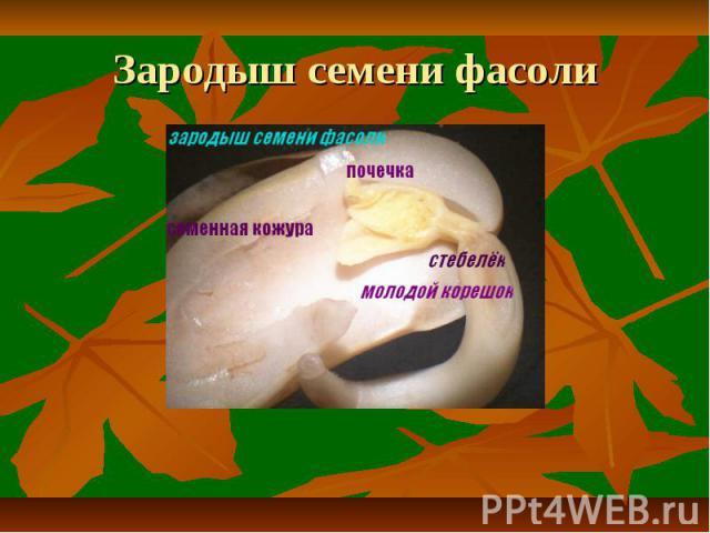 Зародыш семени фасоли