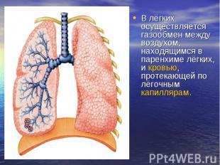 В лёгких осуществляется газообмен между воздухом, находящимся в паренхиме лёгких