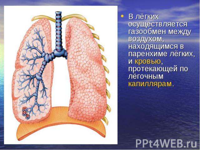 В лёгких осуществляется газообмен между воздухом, находящимся в паренхиме лёгких, икровью, протекающей по лёгочным капиллярам.