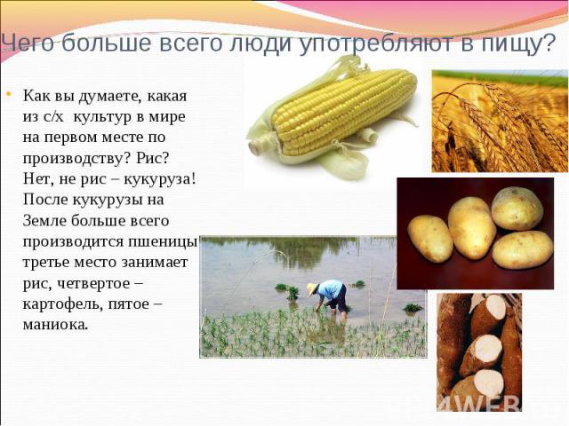 Чего больше всего люди употребляют в пищу? Как вы думаете, какая из с/х культур в мире на первом месте по производству? Рис? Нет, не рис – кукуруза! После кукурузы на Земле больше всего производится пшеницы, третье место занимает рис, четвертое – ка…