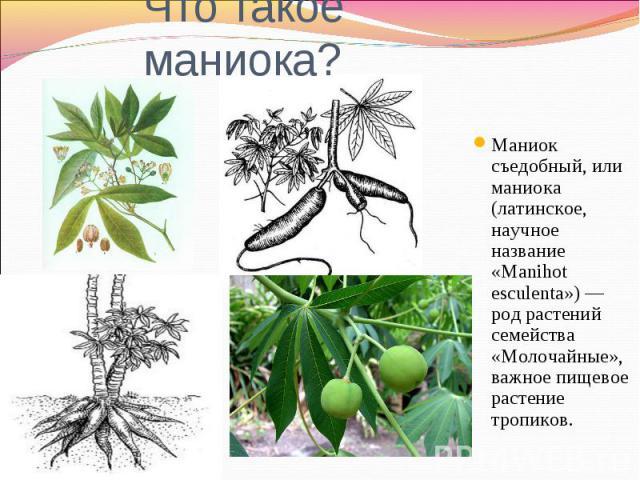 Что такое маниока?Маниок съедобный, или маниока (латинское, научное название «Manihot esculenta») — род растений семейства «Молочайные», важное пищевое растение тропиков.