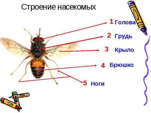 Строение насекомыхГолова Грудь Крыло Брюшко Ноги