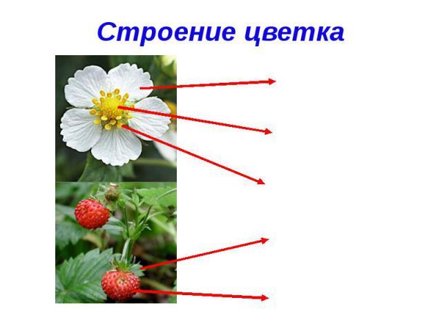 Строение цветкалепесток пестик тычинки чашелистик плод