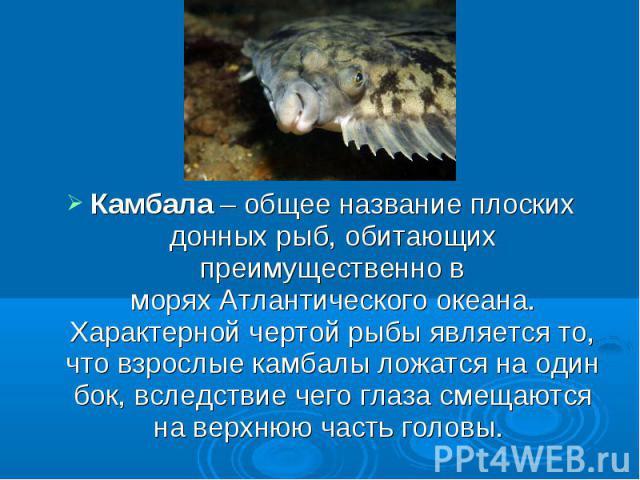 Камбала– общее название плоских донных рыб, обитающих преимущественно в моряхАтлантического океана. Характерной чертой рыбы является то, что взрослые камбалы ложатся на один бок, вследствие чего глаза смещаются на верхнюю часть головы.