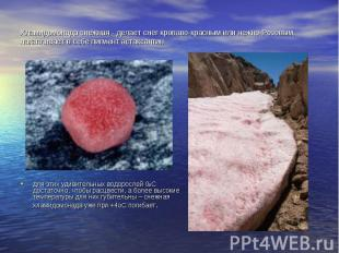 Хламидомонада снежная - делает снег кроваво-красным или нежно-Розовым, накаплива