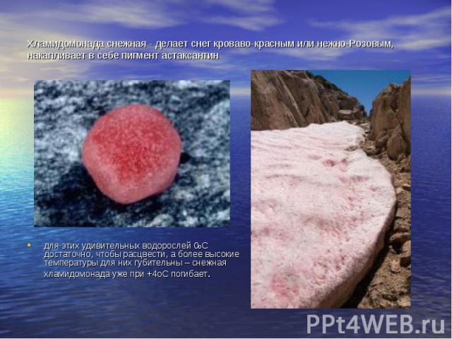 Хламидомонада снежная - делает снег кроваво-красным или нежно-Розовым, накапливает в себе пигмент астаксантин для этих удивительных водорослей 0оС достаточно, чтобы расцвести, а более высокие температуры для них губительны – снежная хламидомонада уж…