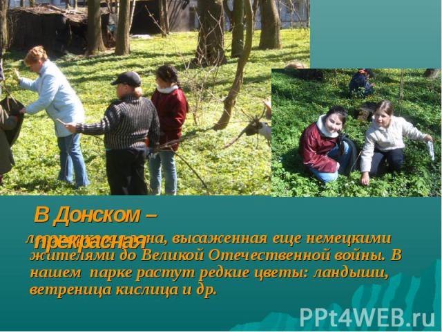 В Донском –прекрасная лесопарковая зона, высаженная еще немецкими жителями до Великой Отечественной войны. В нашем парке растут редкие цветы: ландыши, ветреница кислица и др.