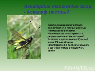 Ascalaphus macaronius Scop. - Аскалаф пестрый Средиземноморский реликт, встречае