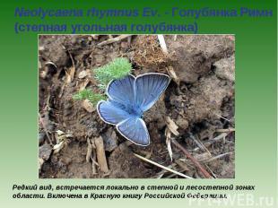 Neolycaena rhymnus Ev. - Голубянка Римн (степная угольная голубянка) Редкий вид,