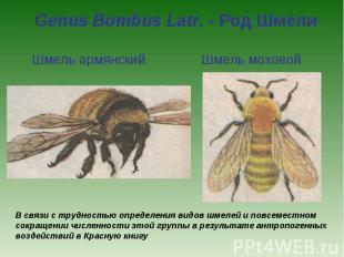 Genus Bombus Latr. - Род Шмели Шмель армянский Шмель моховойВ связи с трудностью
