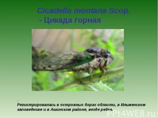 Cicadella montana Scop. - Цикада горная . Регистрировалась в островных борах обл