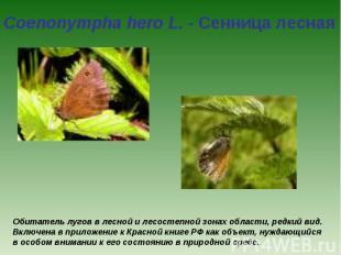 Coenonympha hero L. - Сенница лесная Обитатель лугов в лесной и лесостепной зона