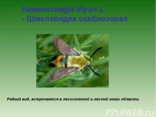 Haemorrhagia tityus L. - Шмелевидка скабиозовая Редкий вид, встречается в лесост