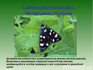 Callimorpha dominula L. - Медведица госпожа Достаточно редкий вид, встречается в