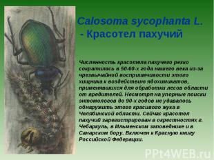 Calosoma sycophanta L. - Красотел пахучий Численность красотела пахучего резко с