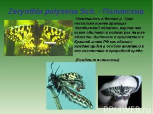 Zerynthia polyxena Sch. - Поликсена Отмечалась в долине р. Урал несколько южнее