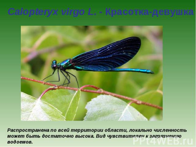 Calopteryx virgo L. - Красотка-девушка Распространена по всей территории области, локально численность может быть достаточно высока. Вид чувствителен к загрязнению водоемов.