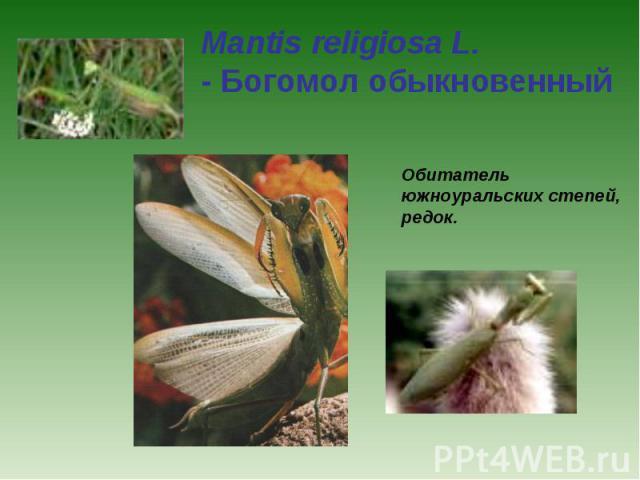 Mantis religiosa L. - Богомол обыкновенный Обитатель южноуральских степей, редок.