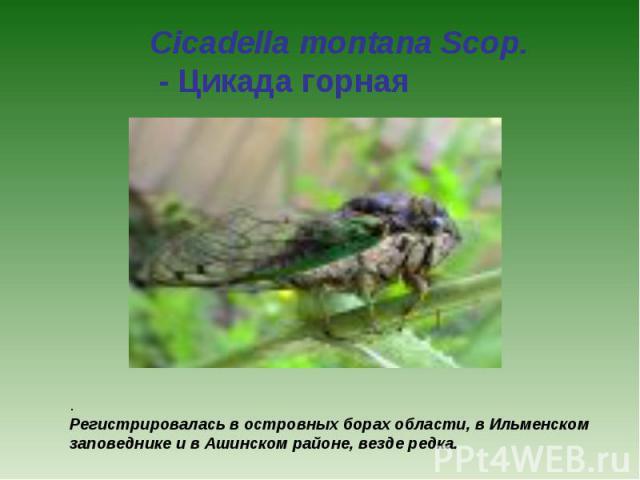 Cicadella montana Scop. - Цикада горная . Регистрировалась в островных борах области, в Ильменском заповеднике и в Ашинском районе, везде редка.