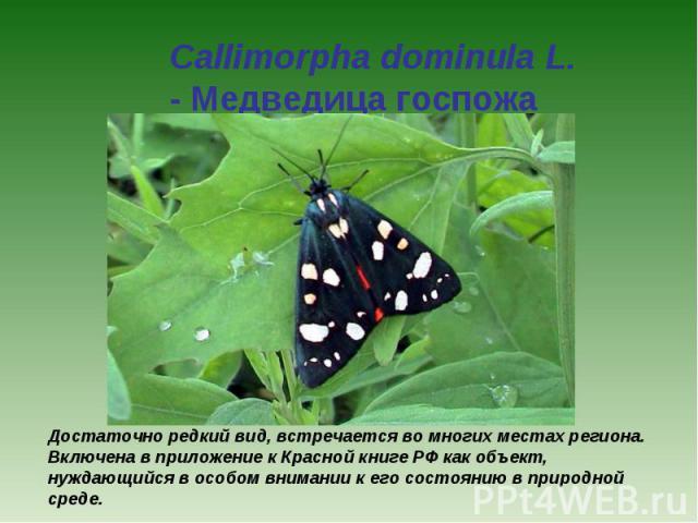 Callimorpha dominula L. - Медведица госпожа Достаточно редкий вид, встречается во многих местах региона. Включена в приложение к Красной книге РФ как объект, нуждающийся в особом внимании к его состоянию в природной среде.