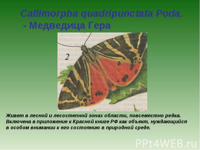 Callimorpha quadripunctata Poda. - Медведица Гера Живет в лесной и лесостепной зонах области, повсеместно редка. Включена в приложение к Красной книге РФ как объект, нуждающийся в особом внимании к его состоянию в природной среде.