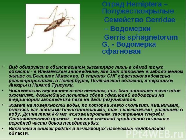 Отряд Hemiptera – Полужесткокрылые Семейство Gerridae – Водомерки Gerris sphagnetorum G. - Водомерка сфагновая Вид обнаружен в единственном экземпляре лишь в одной точке области - в Ильменском заповеднике, где был отловлен в заболоченном заливе оз.Б…