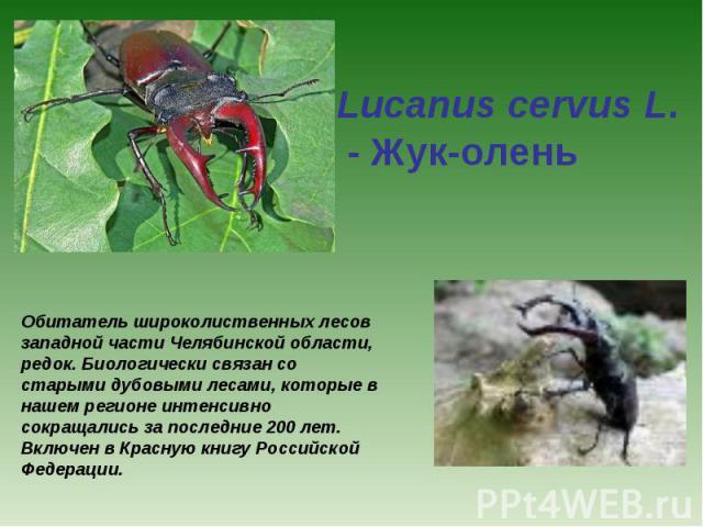 Lucanus cervus L. - Жук-олень Обитатель широколиственных лесов западной части Челябинской области, редок. Биологически связан со старыми дубовыми лесами, которые в нашем регионе интенсивно сокращались за последние 200 лет. Включен в Красную книгу Ро…