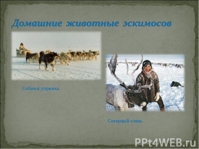 Домашние животные эскимосовСобачья упряжка. Северный олень.