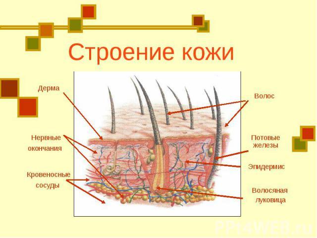 Строение кожиДерма Нервные окончания Кровеносные сосуды Волос Потовые железы Эпидермис Волосяная луковица